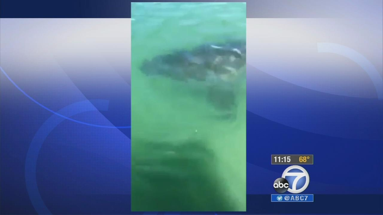 A still from video shows a great white shark under a boat in Chatham, Massachusetts, on Thursday, Aug. 21, 2014.