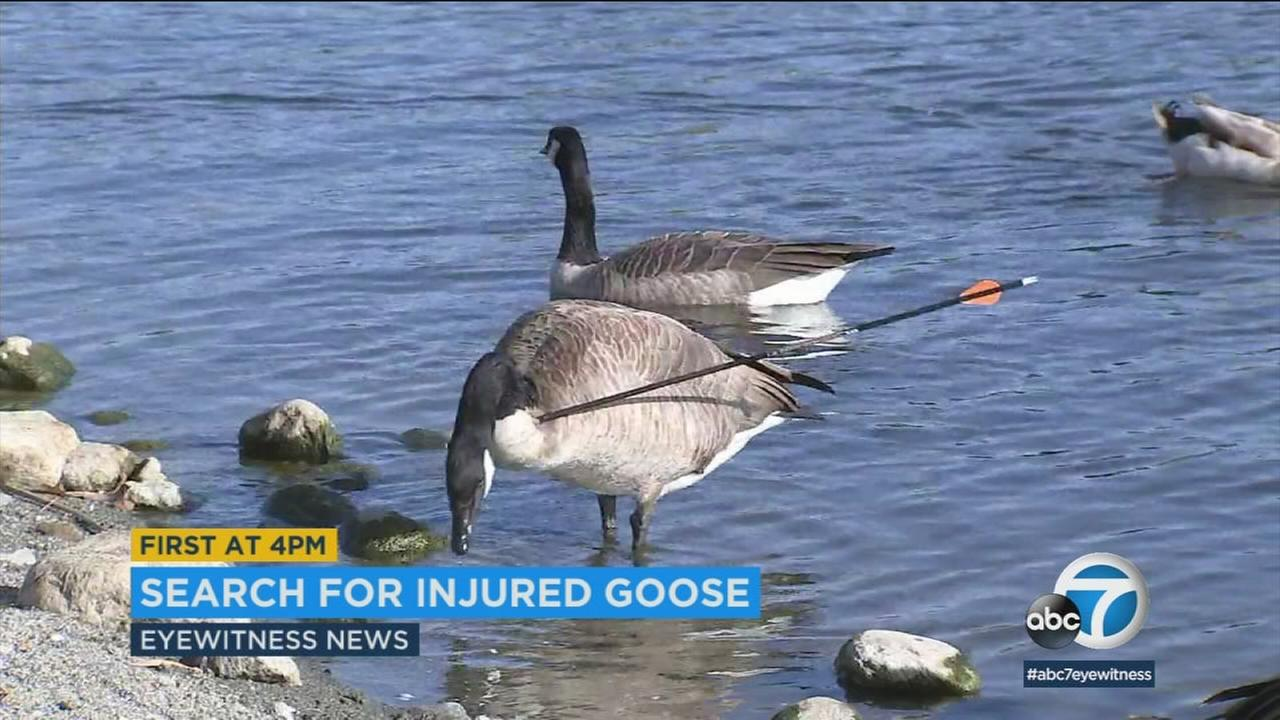 A goose with an arrow lodged in its neck has been spotted at a San Dimas park, but it has flown away from local authorities trying to assist.