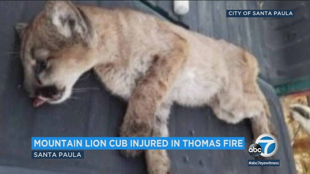 A mountain lion cub injured in the Thomas Fire was rescued by California Fish and Wildlife officials Saturday.