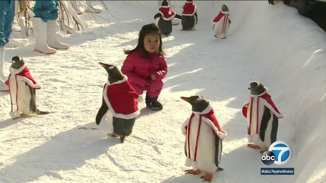 A little girl stares at penguins at a Chinese aquarium. They donned Santa outfits over the holiday weekend.