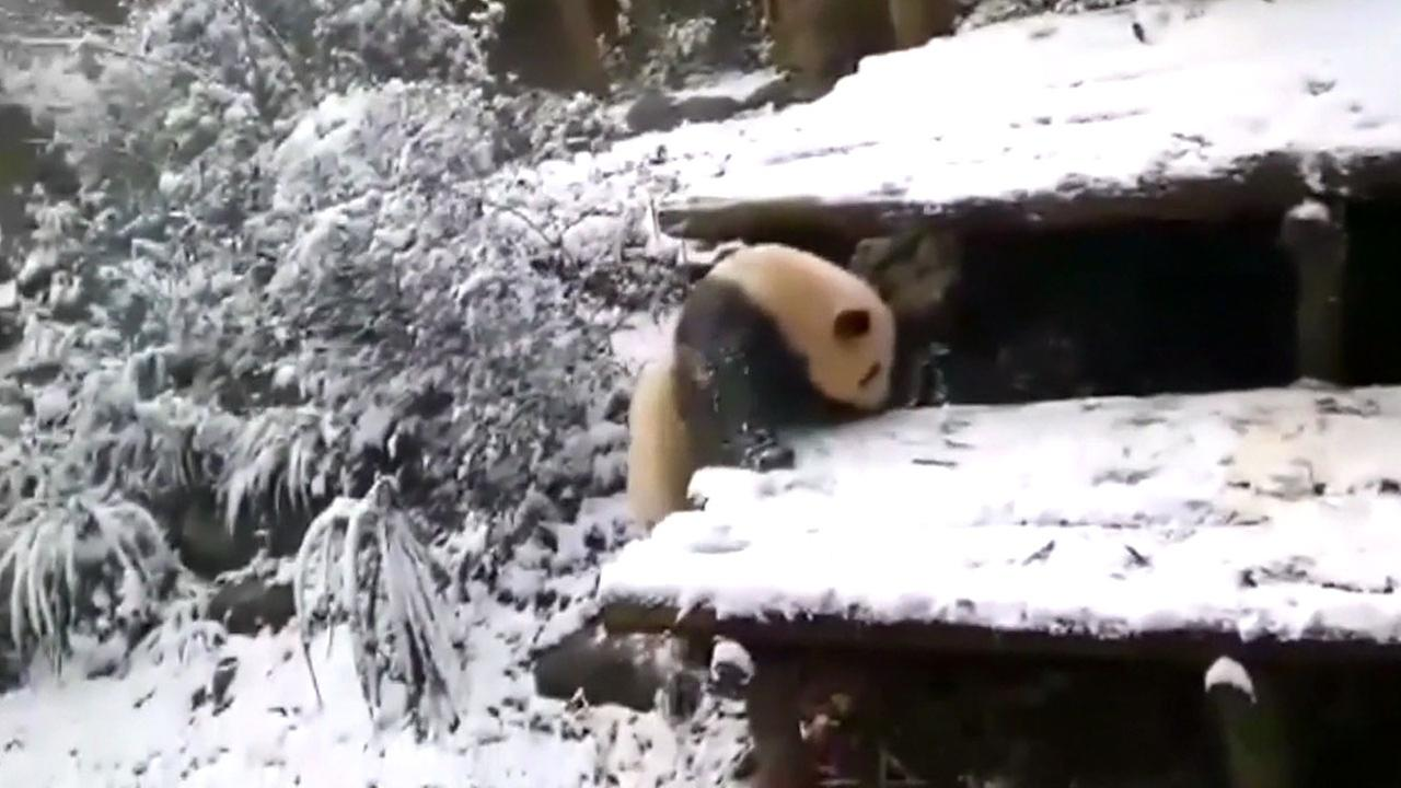 A panda is shown playing in snow at a breeding center in southeast China.