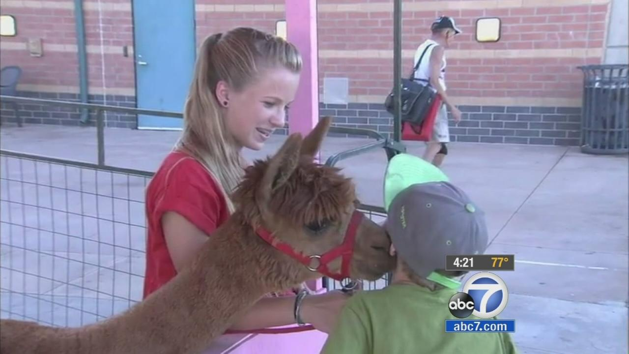 Cool Kid Kaylynn Turner and her alpaca are shown in this undated file photo.