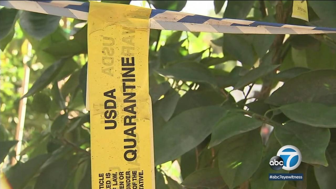 California Department of Food and Agriculture is destroying nearly $1 million worth of citrus trees at a Bloomington nursery due to the threat of disease.