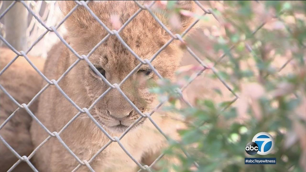 One of three lion cubs is shown at the Wildlife Waystation.