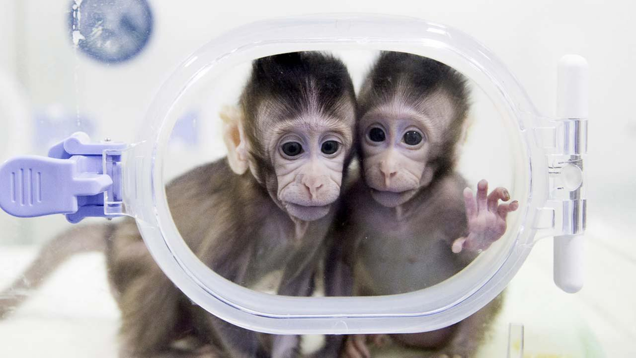 Cloned macaques Zhong Zhong and Hua Hua sit in a lab at the non-human primate research facility of the Chinese Academy of Sciences.