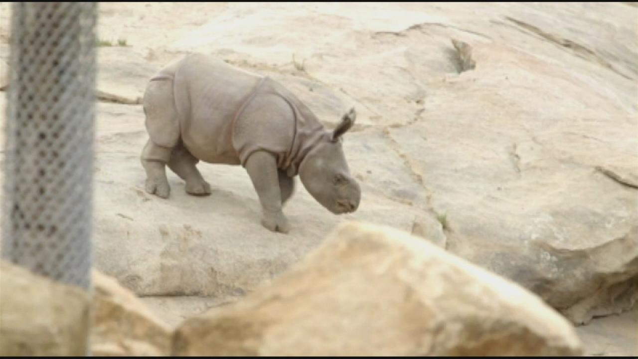 A 4-week-old Indian rhinoceros explores the San Diego Zoo Safari Park with her mother Tanaya on Monday, Sept. 8 2014.