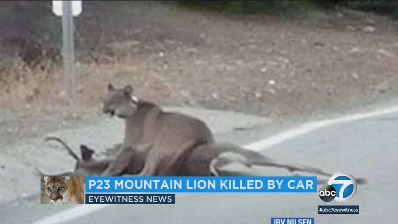 A female mountain lion, known as P-23, was found dead by National Park Service officials near Malibu Canyon Road.