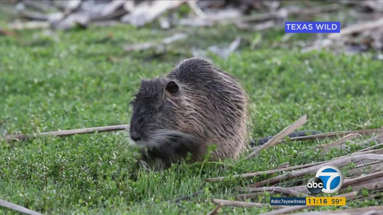 A nutria is shown in a photo.