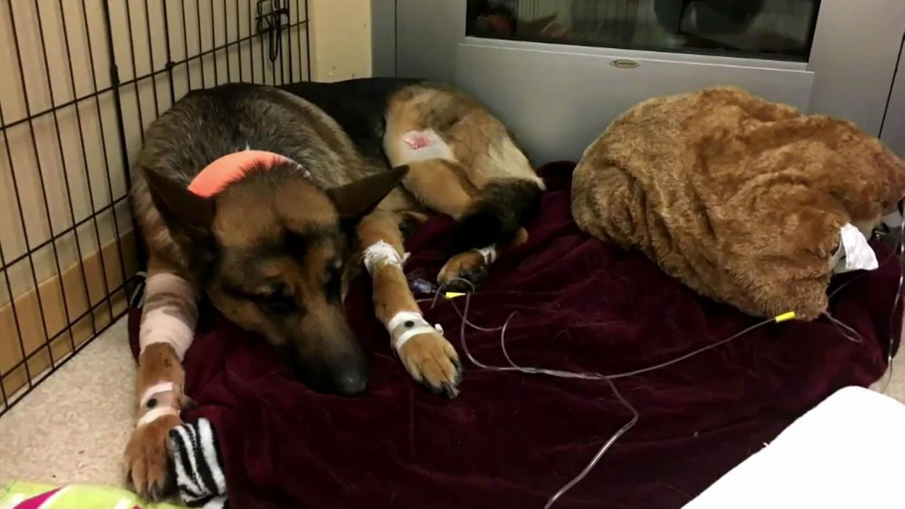 Rex, a German shepherd, is shown recovering from bullet wounds he sustained while saving his teenage owners life from burglars in Washington.