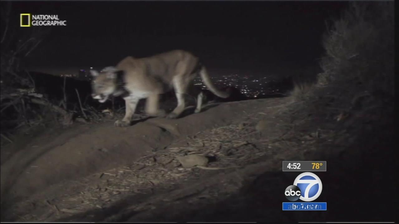 A mountain lion at Griffith Park is seen in this undated file photo.