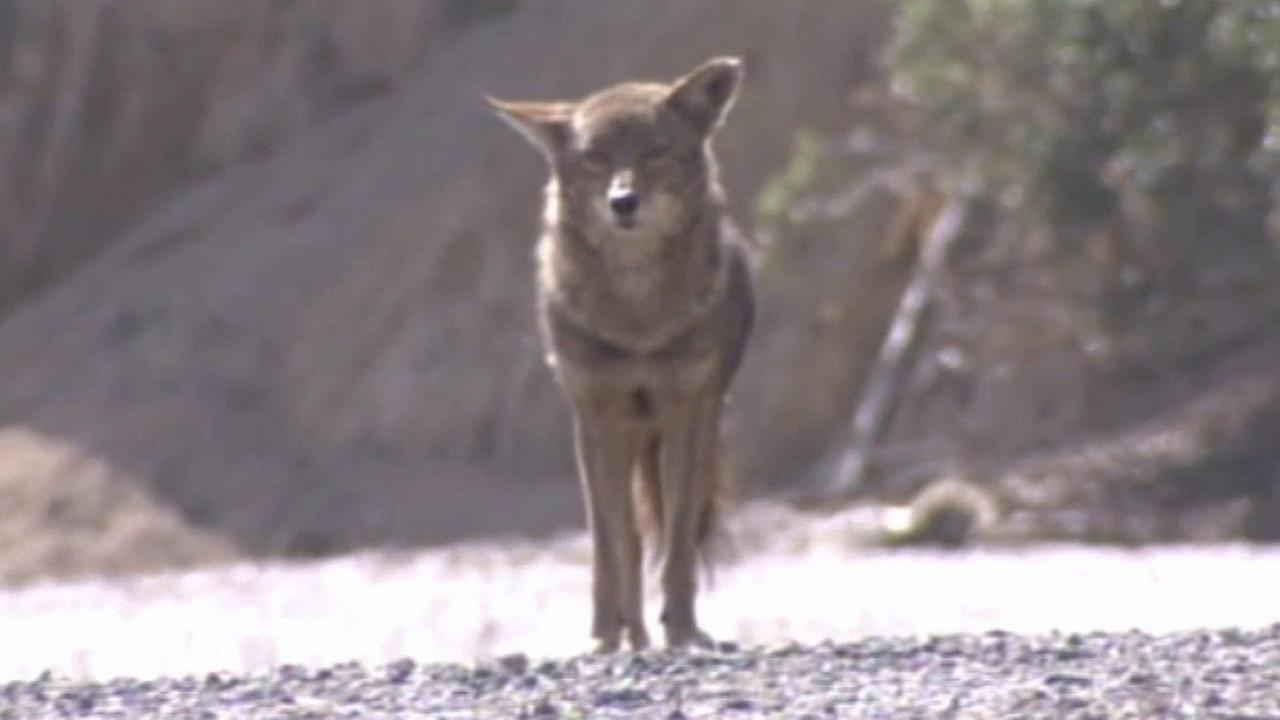 A coyote is seen in this undated file photo.