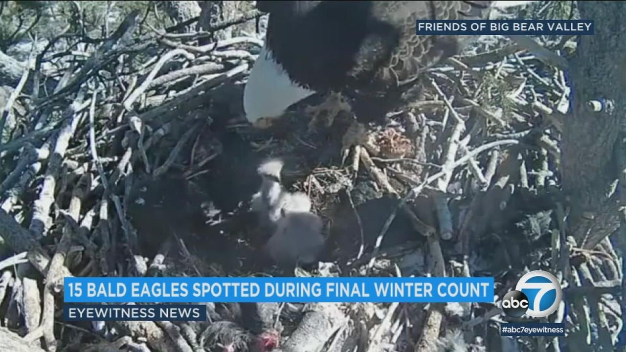 Fifteen bald eagles were spotted during an organized count at sites across inland Southern California over the weekend, a site the once-endangered species continues to rebound.