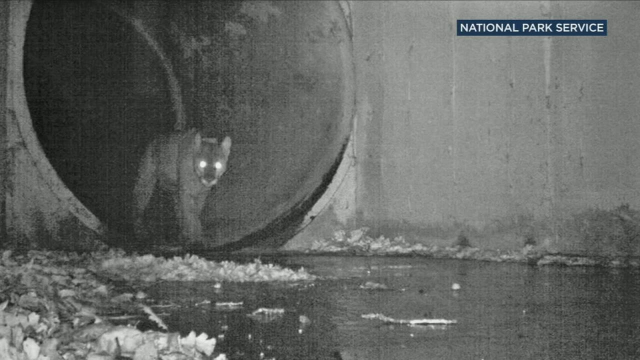 A photo of male mountain lion P-64 as he crossed the 101 Freeway in Agoura Hills using a culvert.