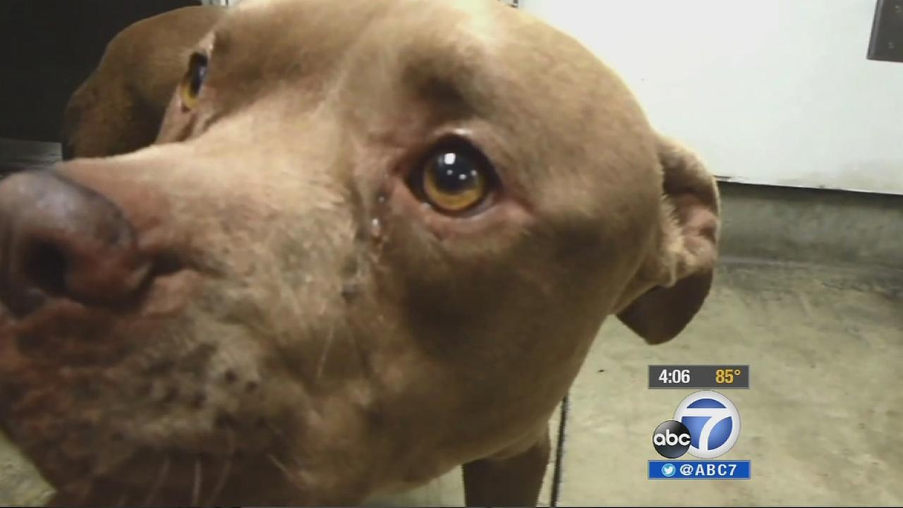 Indy, a pit bull burned by fireworks on July 4, 2013, is seen  in this file photo after the attack.