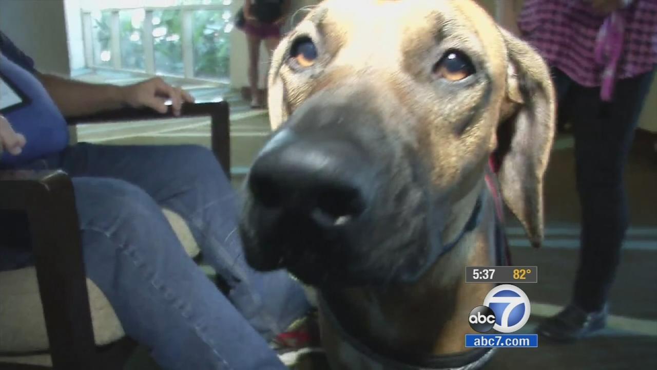 Savannah the dog sniffs for cancer.