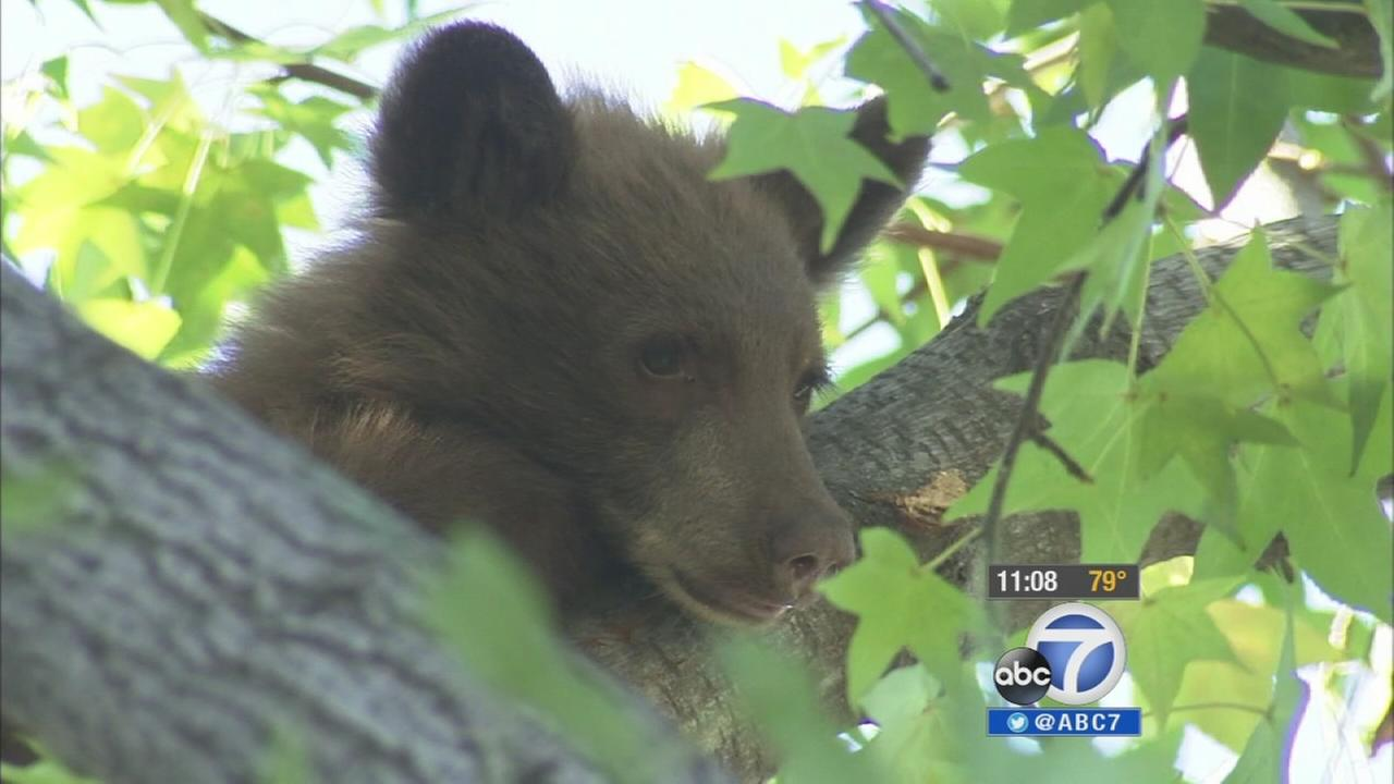 A family of bears were spotted enjoying the backyard of a Monrovia home on Friday.