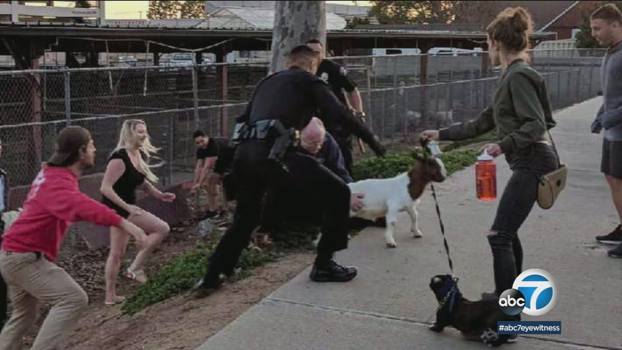 An Instagram post shows a new police officer wrangling up goats at a Fullerton high school with the help of bystanders.
