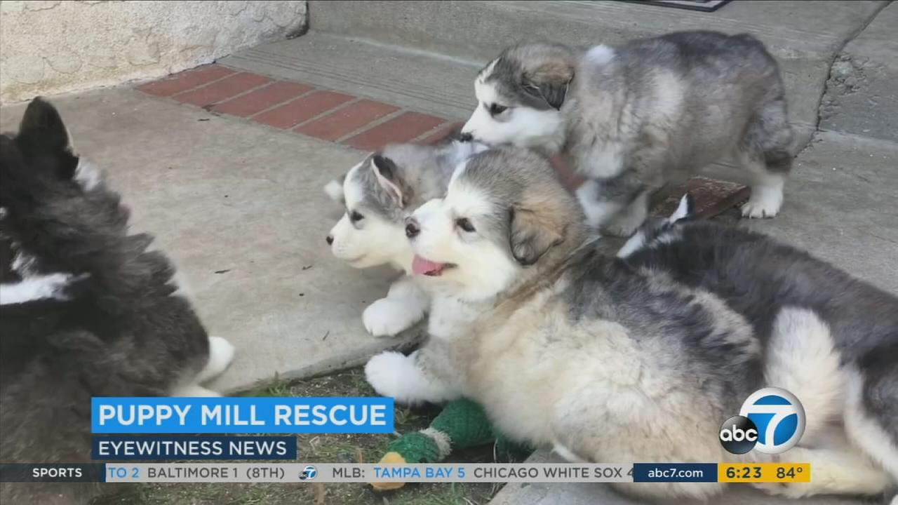 Twenty-two Alaskan Malamutes are now safe in a Simi Valley rescue after a puppy mill bust in Chico.