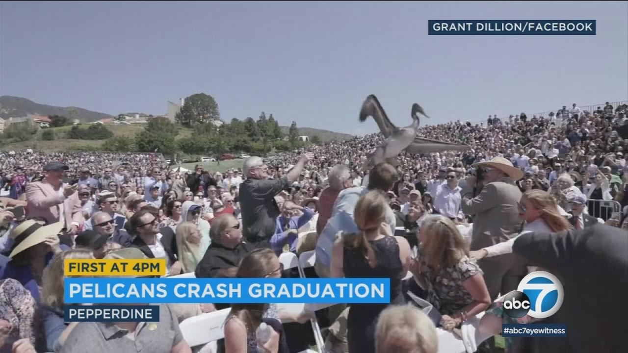 A pair of pesky pelicans crashed the Pepperdine graduation this weekend.