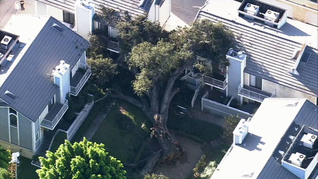 A massive oak tree fell on top of several townhomes in Duarte on Wednesday, Oct. 8, 2014.