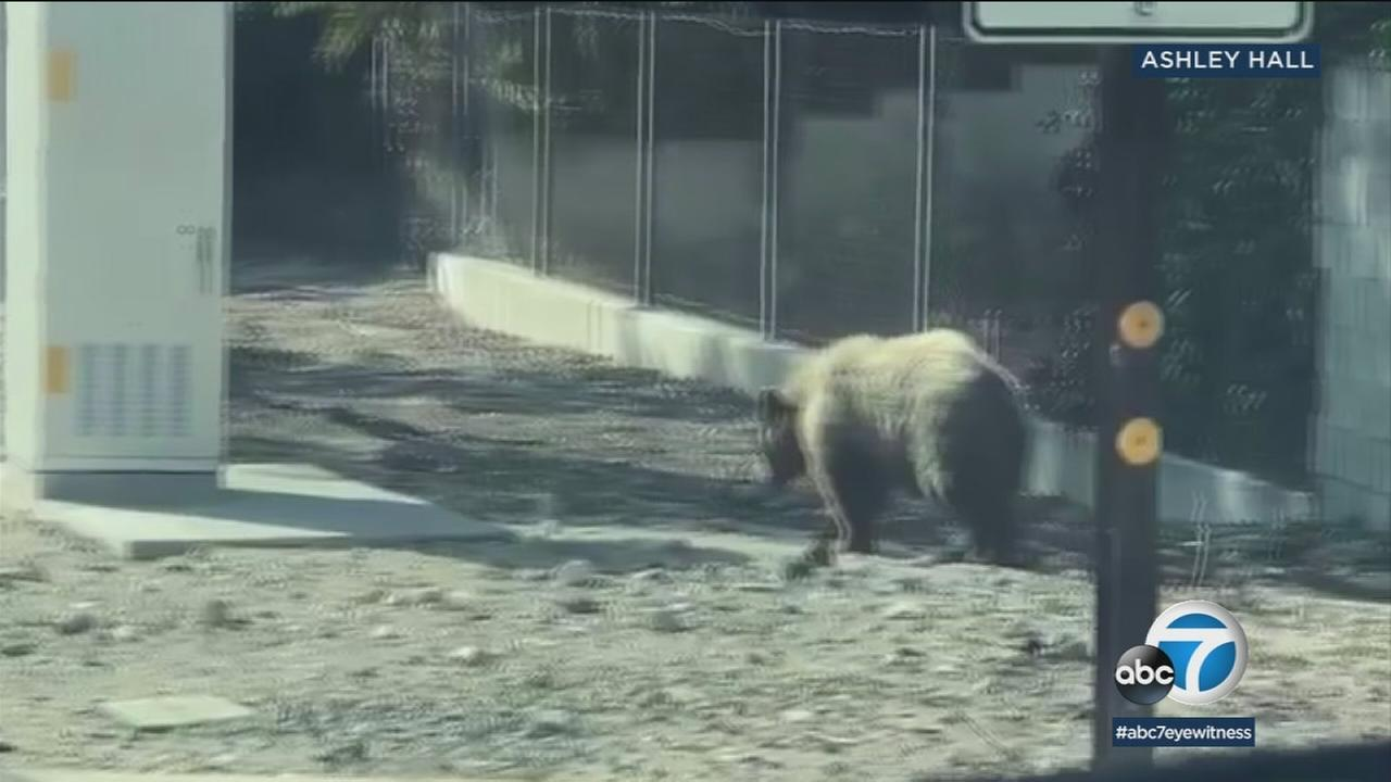 Video shows a bear minding its own business strolling along the 210 Freeway onramp.