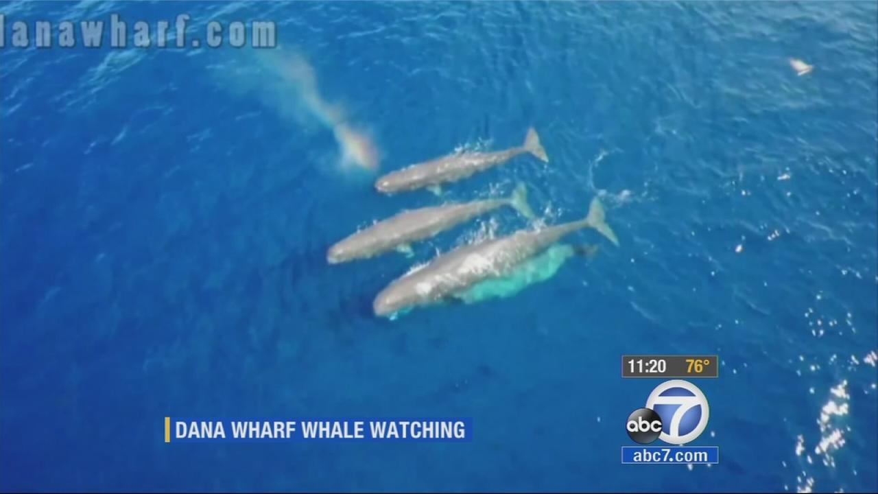 Sperm whales are seen off the coast of Dana Point.