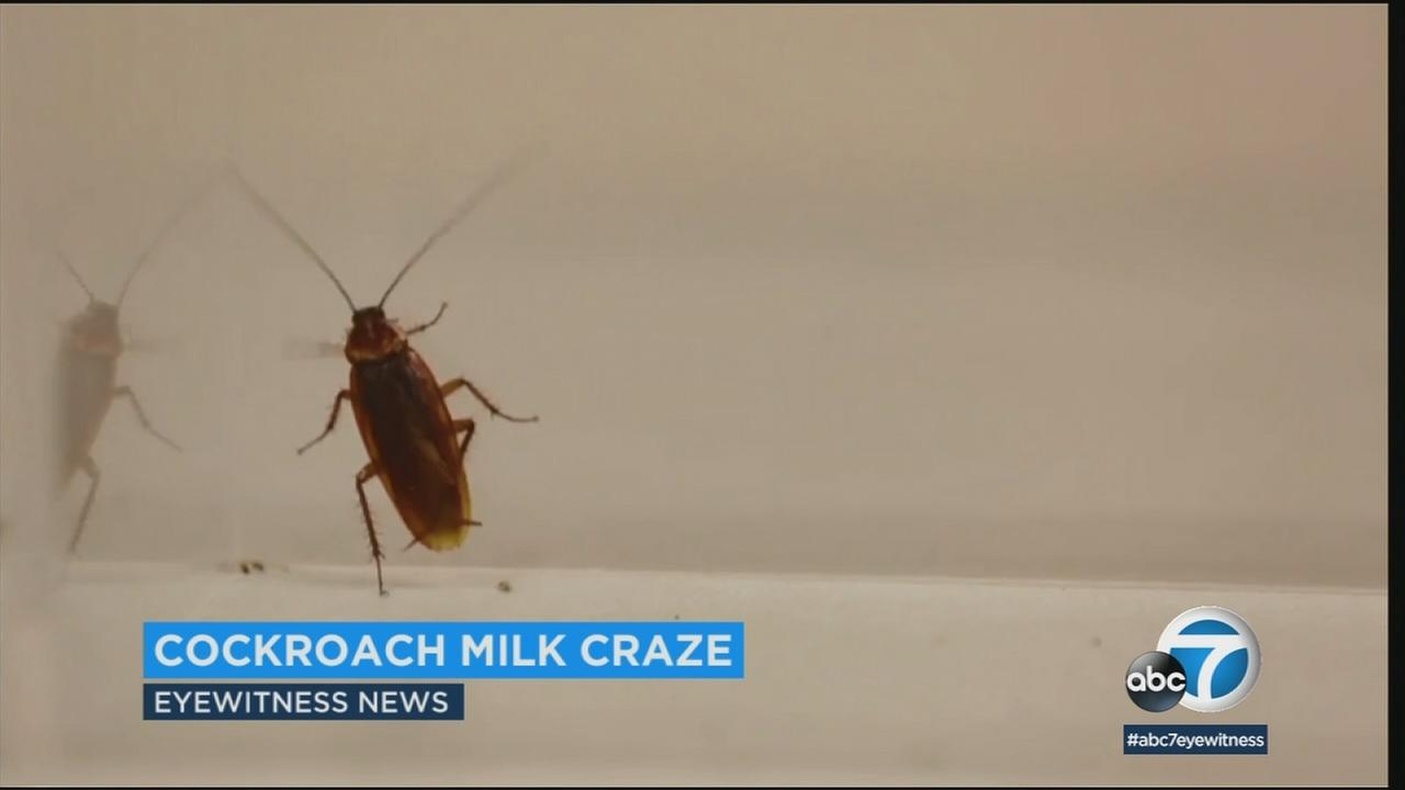The cockroach milk boasts four times as much protein as cows milk and is packed with essential amino acids.