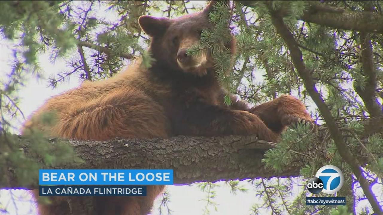Three La Canada Flintridge area schools were temporarily put on precautionary lockdown due to a bear sighting in the backyard of a nearby home Thursday, authorities said.