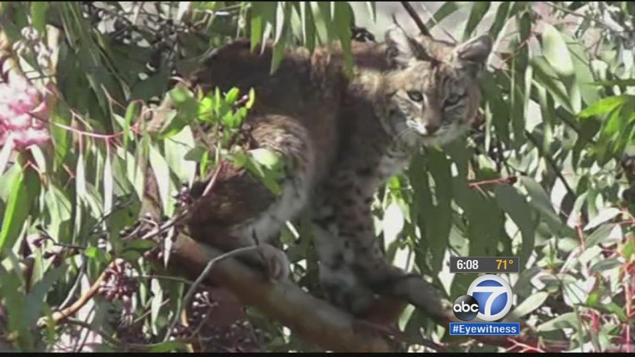 Two bobcats were spotted in a tree in a Valencia neighborhood on Sunday, Oct. 19, 2014.