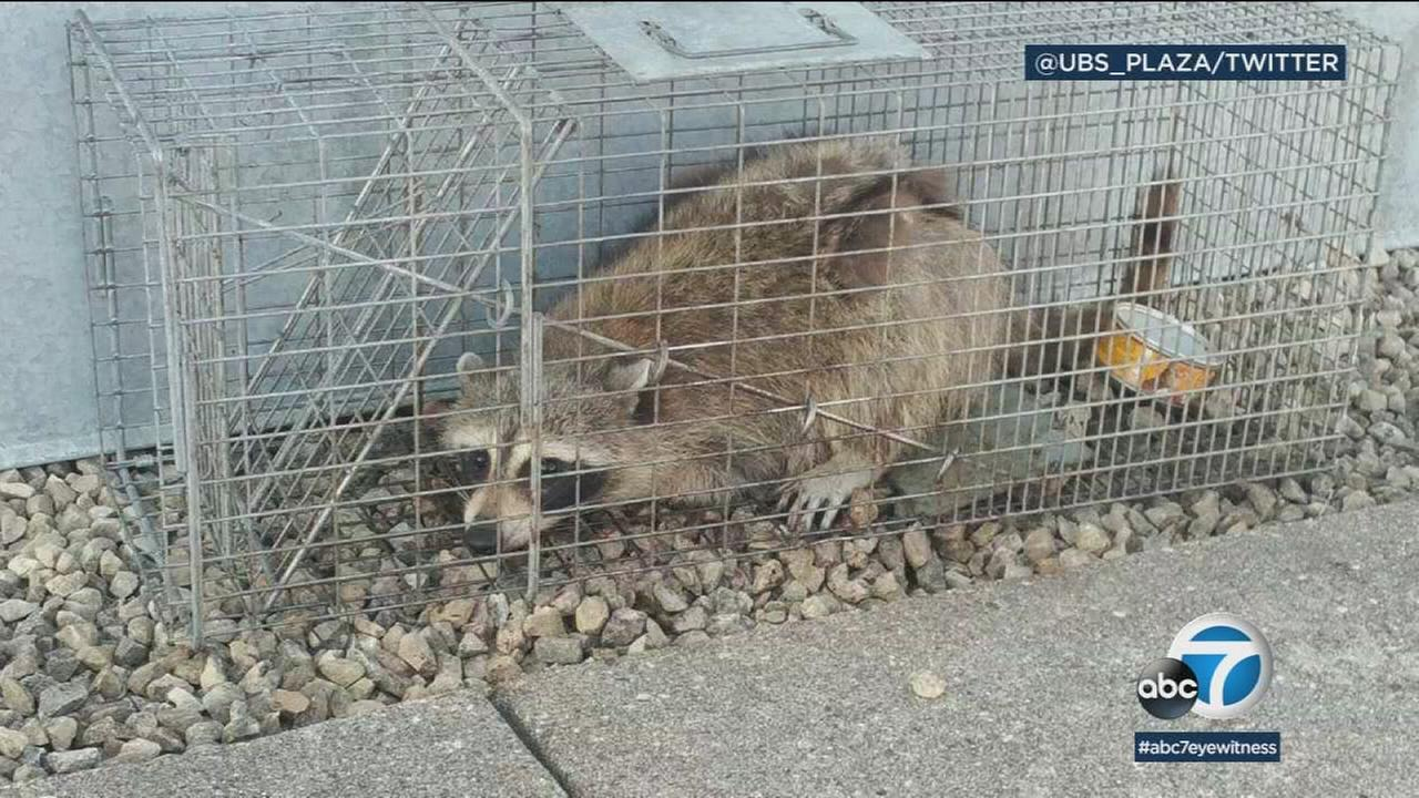 A raccoon stranded on the ledge of a building in St. Paul, Minnesota, captivated onlookers and generated interest on social media after it started scaling an office building.