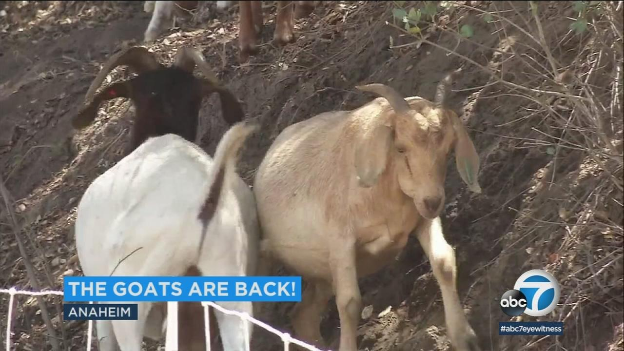 Nearly 200 goats are eating their way across Anaheims Deer Canyon Preserve, part of the citys plan to remove thick, dangerous fuels that could ignite the brush.