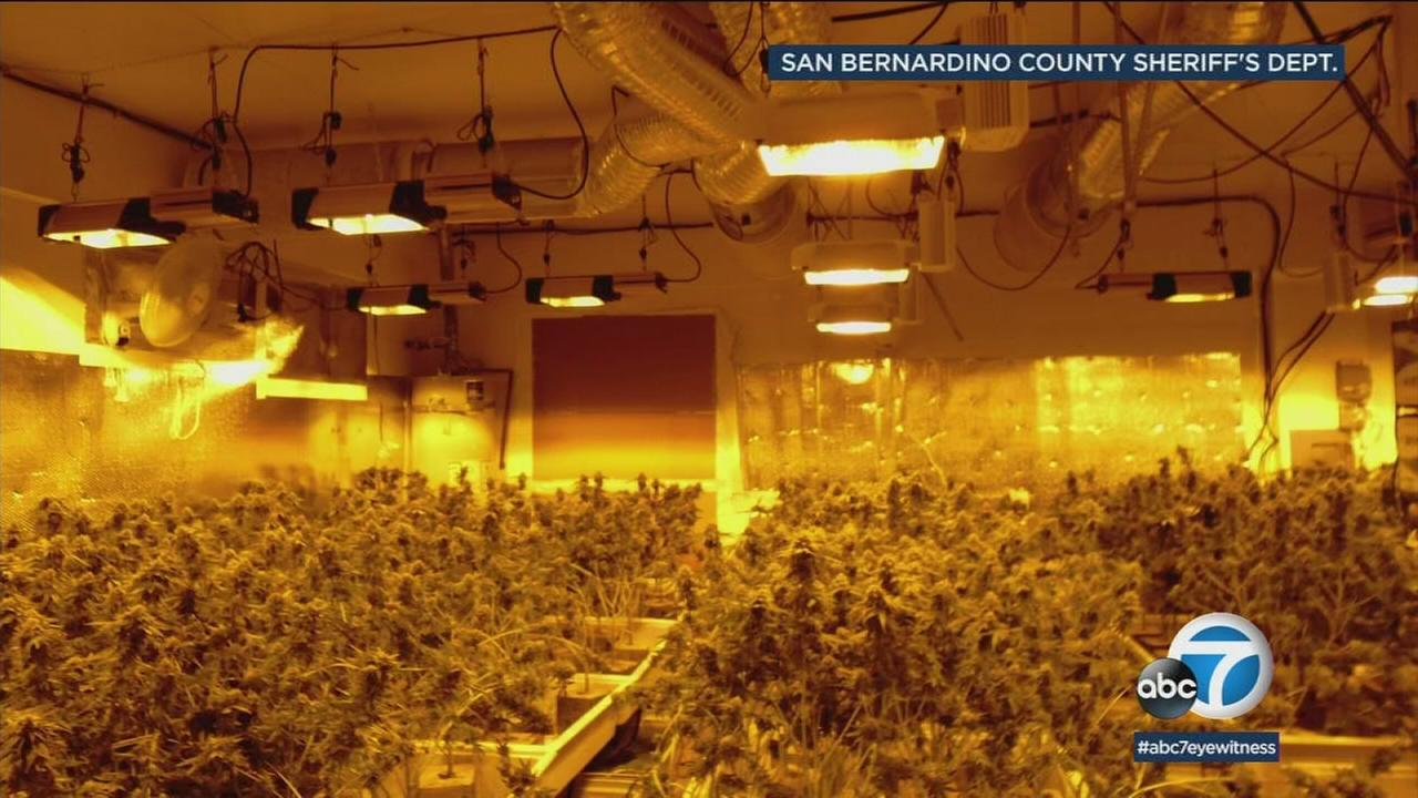 A home in Rancho Cucamonga is shown with hundreds of marijuana plants that were being grown illegally.