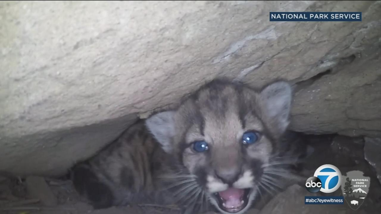 Researchers discovered a litter of four female mountain lion kittens in the Simi Hills.