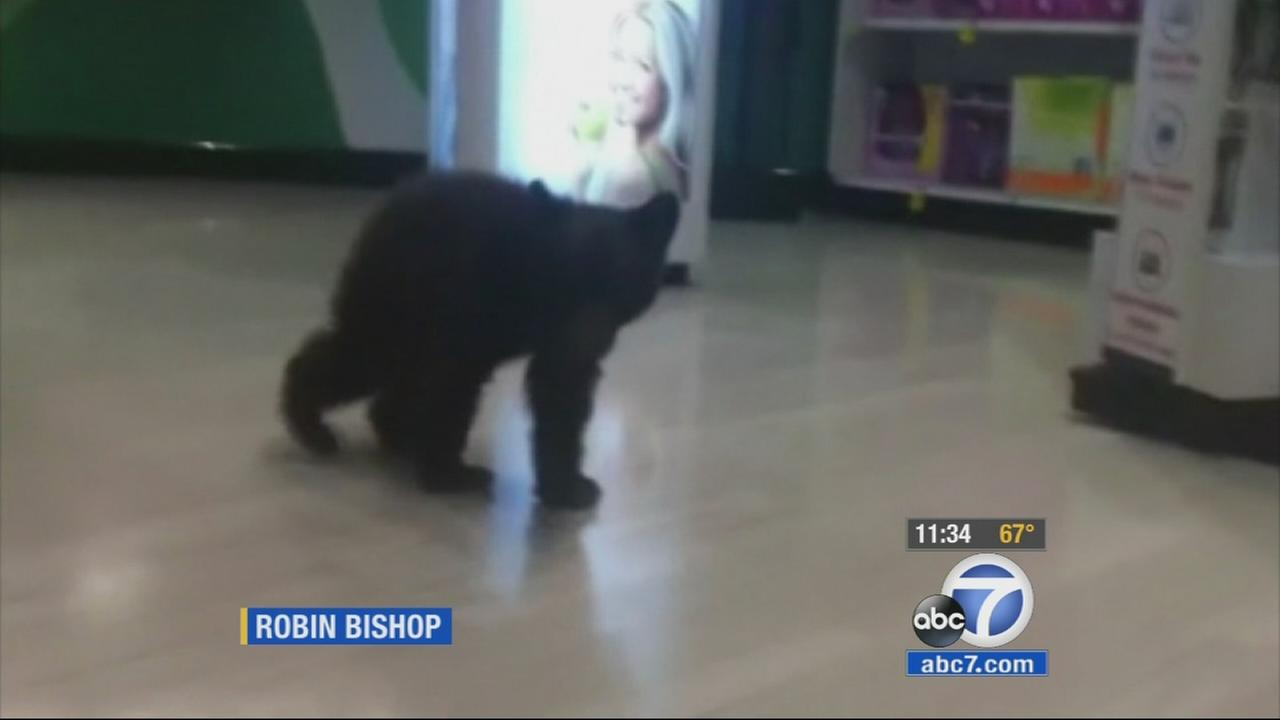 A Rite Aid customer in Ashland, Oregon, took video of a one-month-old, 13-pound female bear cub wandering around the store Sunday afternoon.