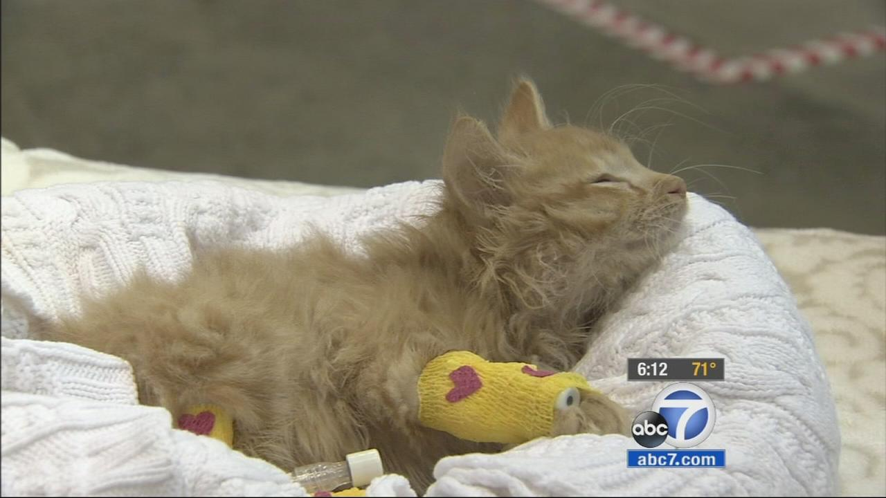 102814-kabc-6pm-paralyzed-cat-vid
