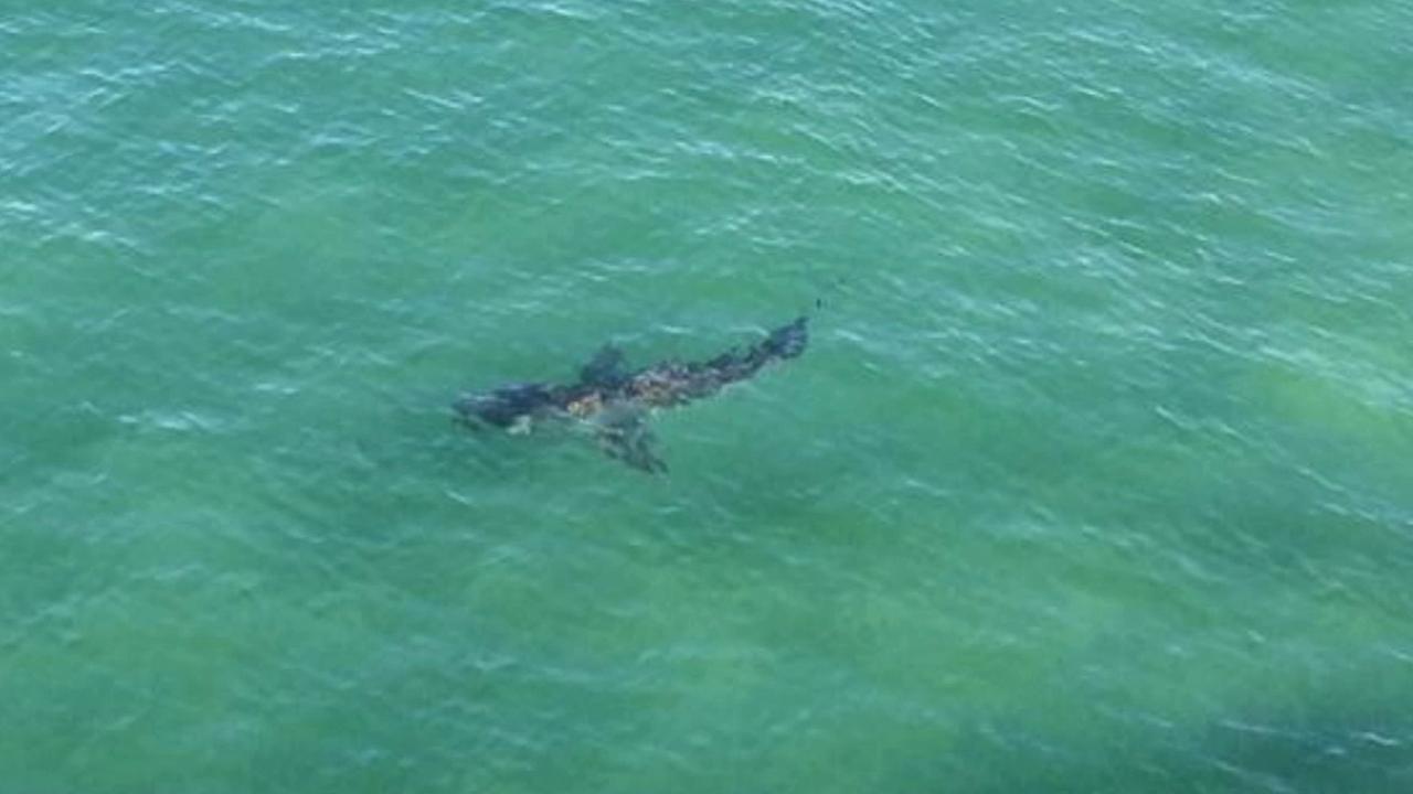 A shark is seen off the Hermosa Beach pier on Friday, Nov. 7, 2014.