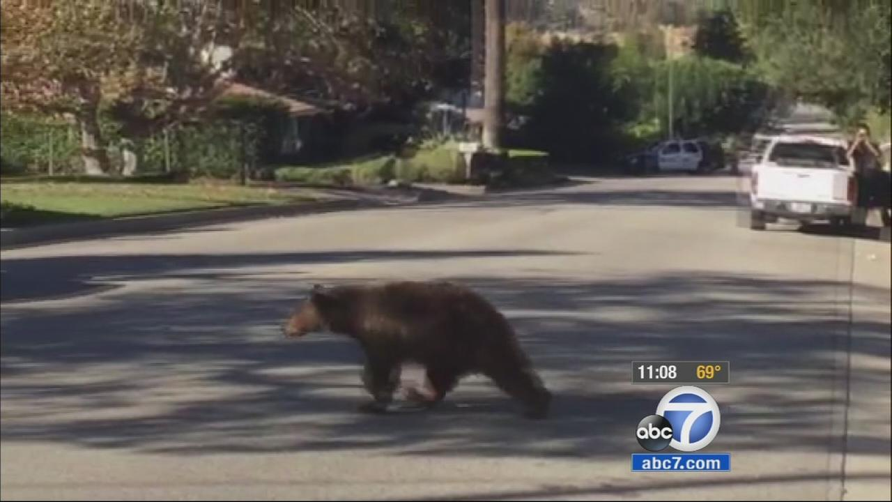 A mama bear and her cub were spotted in Sierra Madre on Thursday, Nov. 20, 2014.