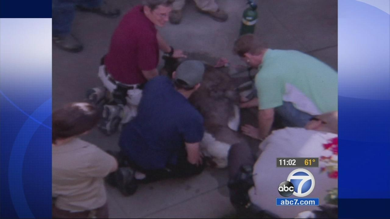 Authorities work to save a sheep that escaped from the Los Angeles Zoo on Saturday, Nov. 22, 2014.