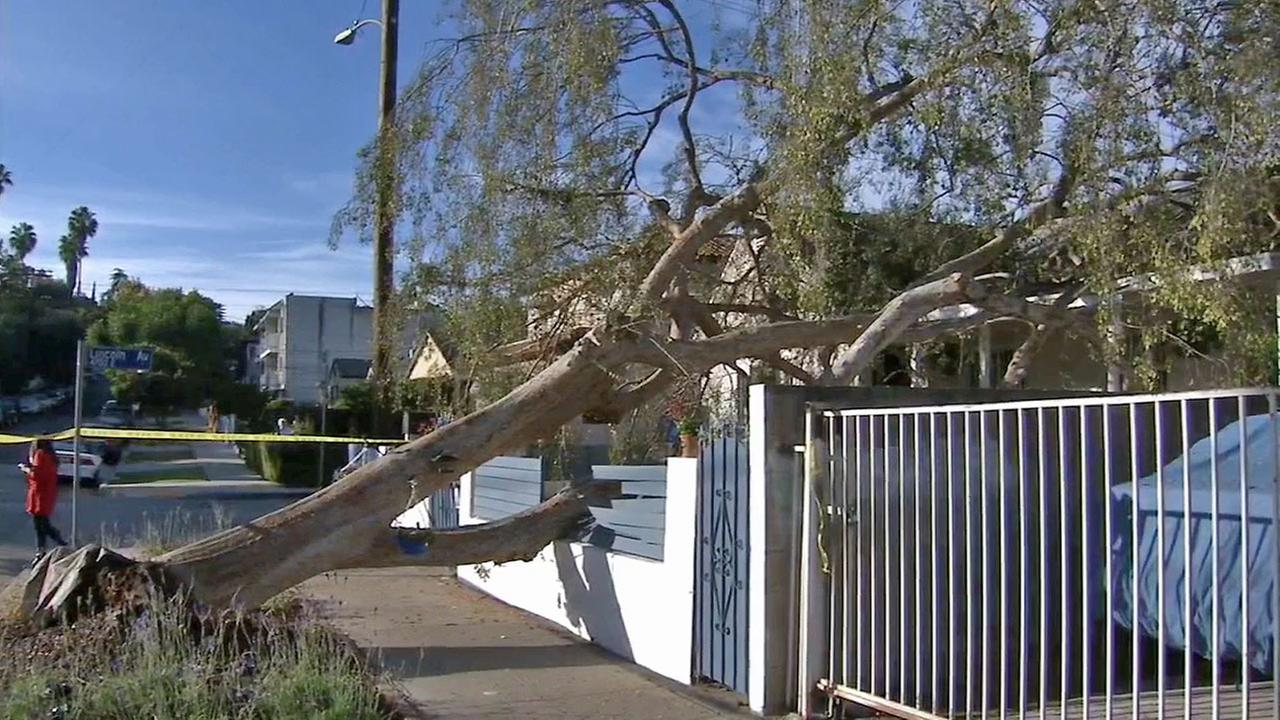 A tree is seen after it toppled over in front of a home in Eagle Rock on Sunday, Nov. 23, 2014.