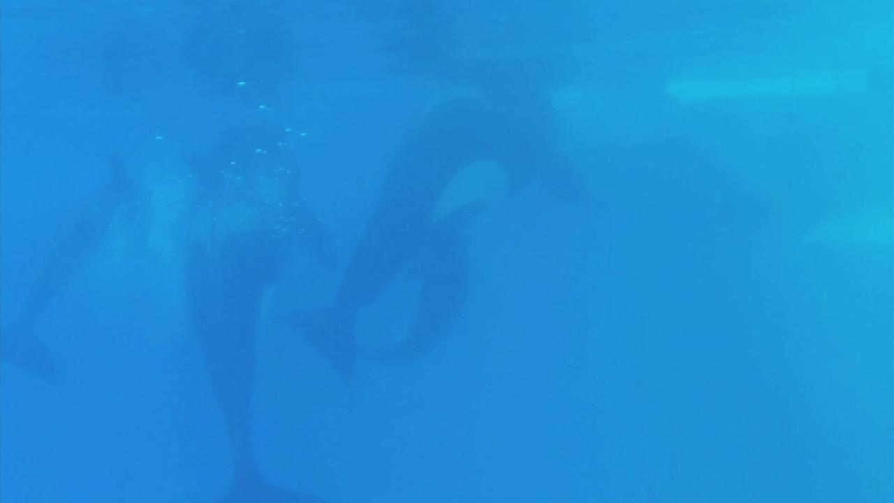A baby killer whale was born at the SeaWorld San Diego Tuesday, Dec. 2, 2014.