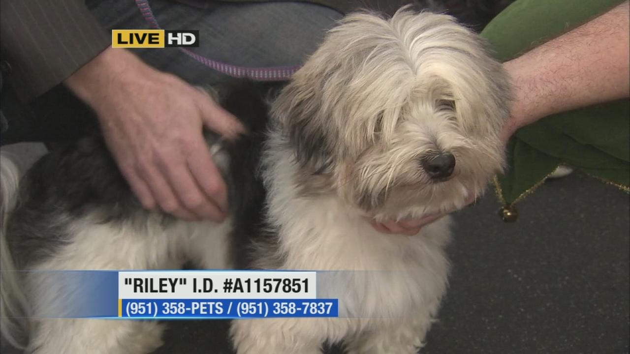 Riley, a 3-year-old Shih Tzu mix, is up for adoption. Please give him a good home!