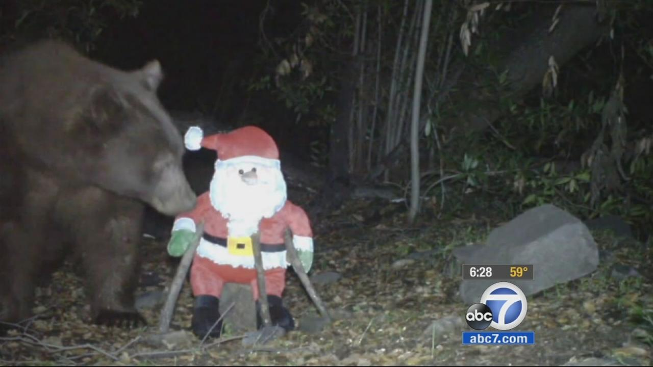 A bear wandering around Glendora ended up hitting a Santa Claus decoration while searching for food.