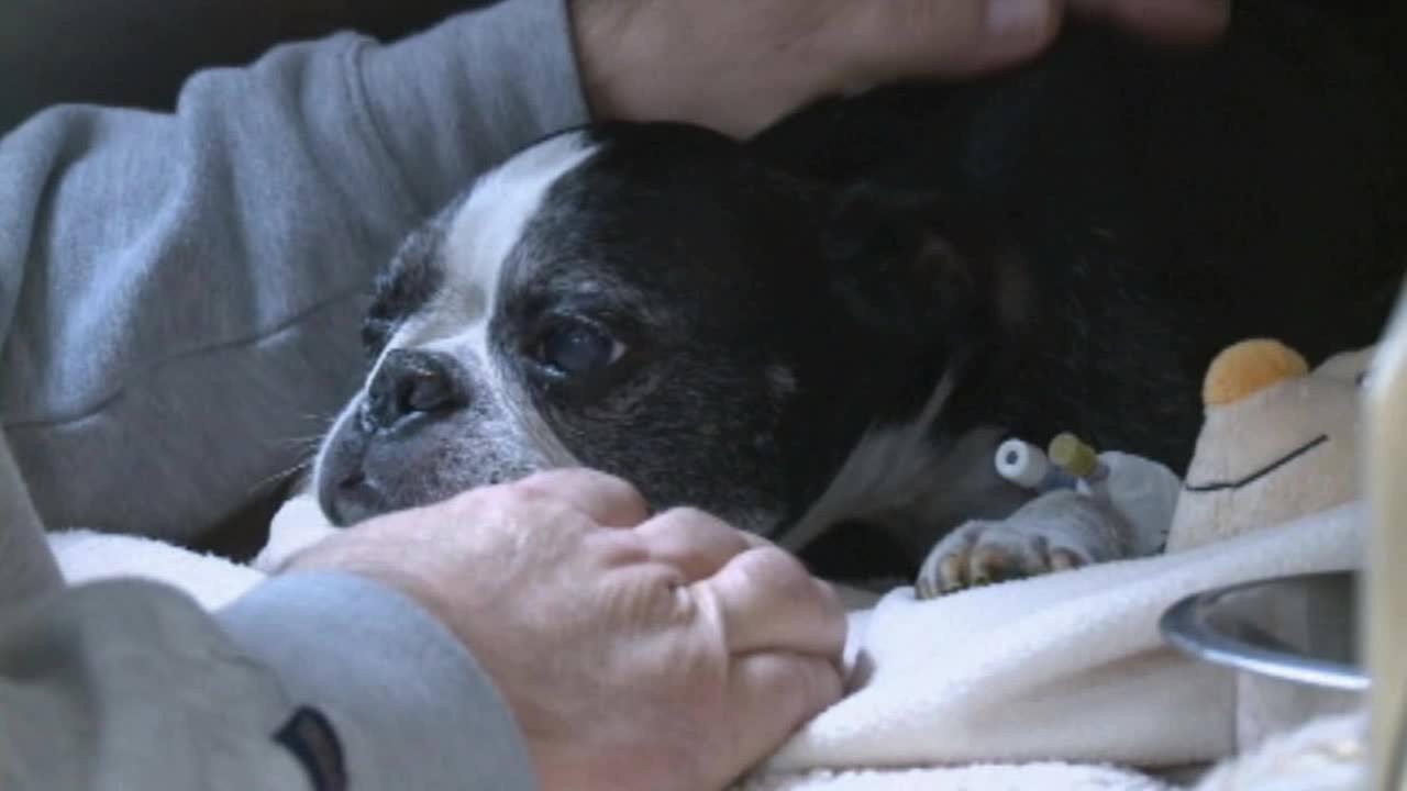 A dog named Sam is recovering after falling off a balcony in Sacramento and landing in a hot tub 15 stories below.