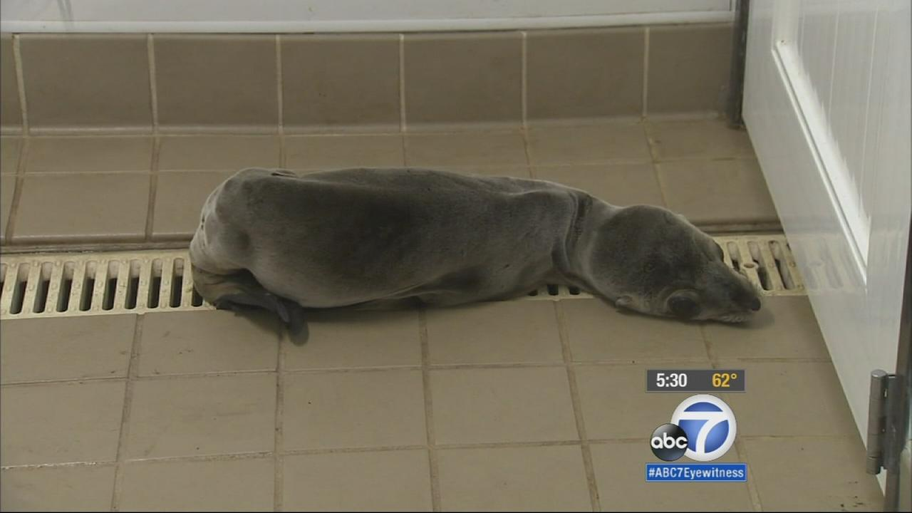 The Pacific Marine Mammal Center in Laguna Beach says its seen almost a 40 percent increase in sick sea lions this year.