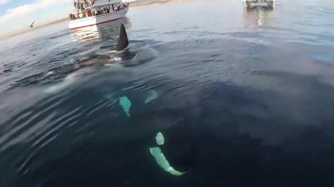 A Laguna Beach man captured footage of his swim with a pod of orcas off the coast of Long Beach.