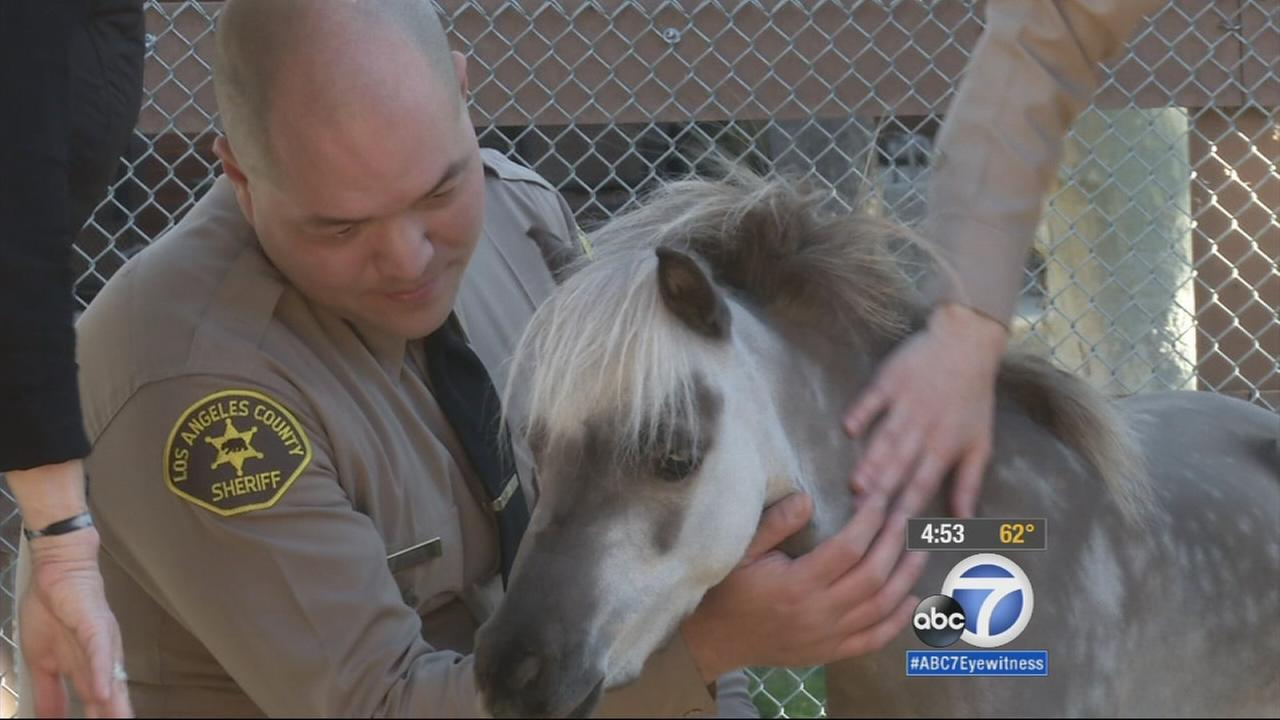 Miniature therapy horses are teaming up with the Malibu-Lost Hills Sheriffs Station as part of a community outreach and crime prevention program.