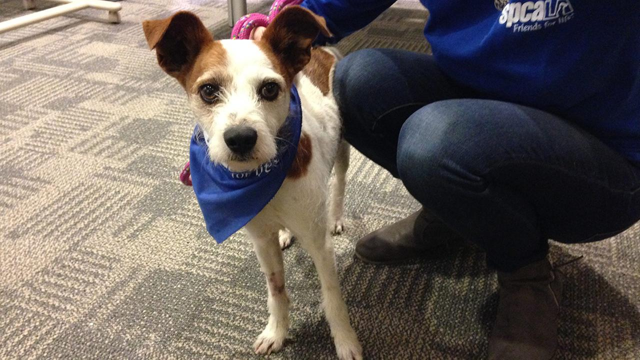 Our Pet of the Week on Thursday, Feb. 26, is a 1-year-old male terrier mix named Stanley. Please give him a good home!