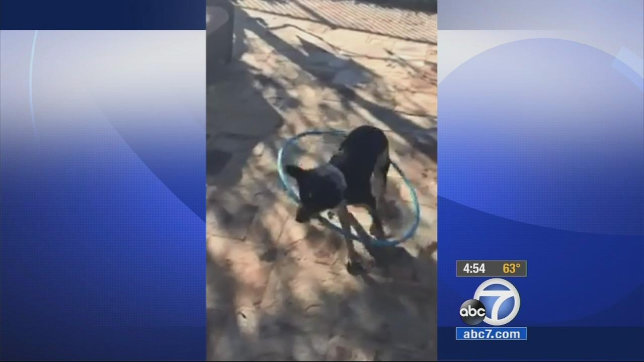 An adorable dog named Pepper can do the hula hoop, and she learned it without any formal training. Her owner took video to prove it.