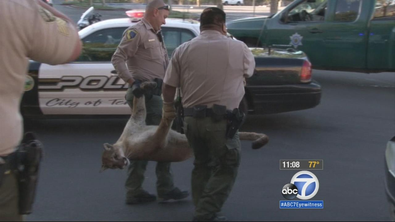 Authorities take a tranquilized mountain lion away from the Promenade Mall in Temecula, Friday, March 6, 2015.