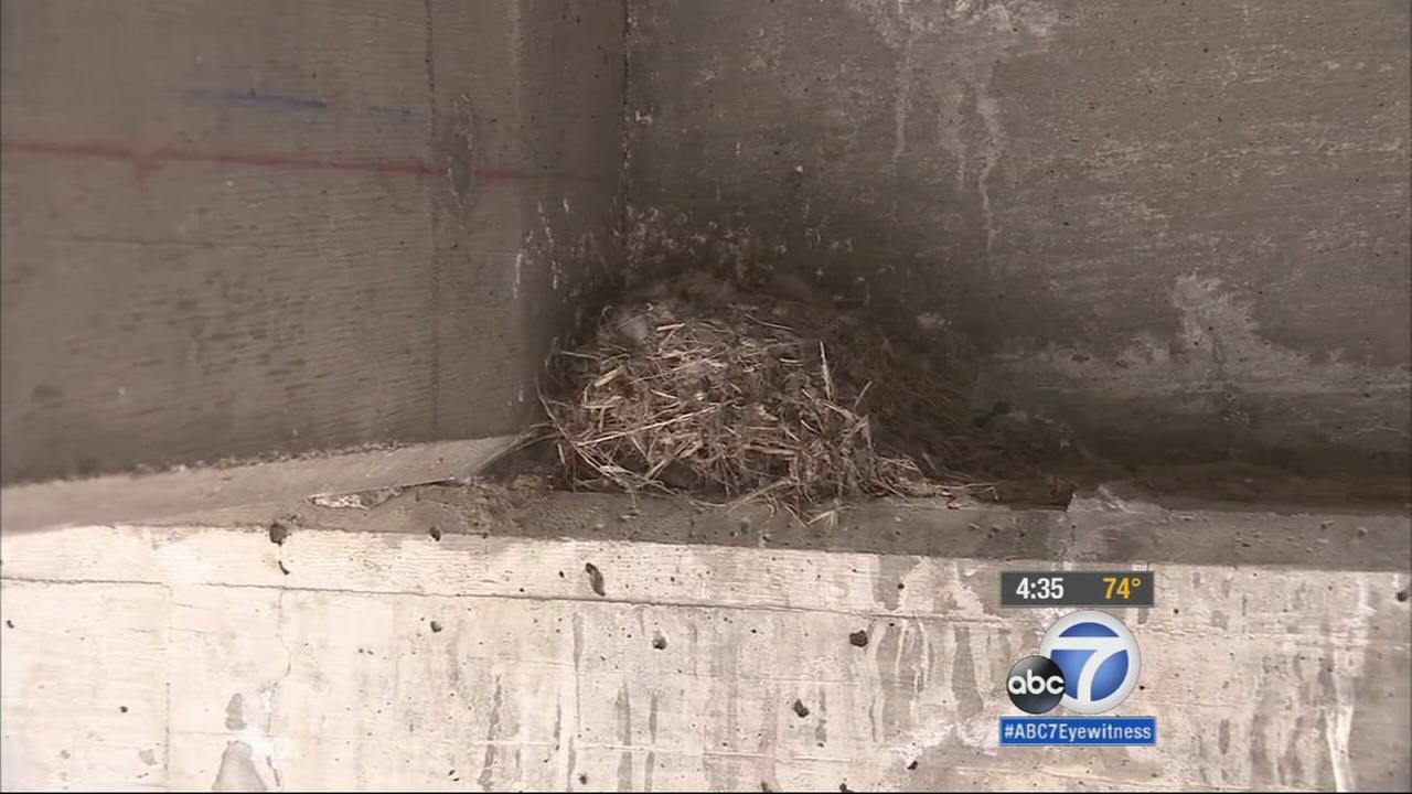 A birds nest in the Theodore Street overpass in Moreno Valley has caused a halt in the renovation project.
